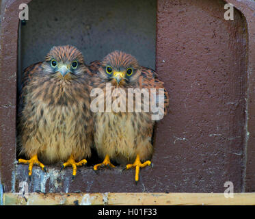 European Kestrel, Eurasian Kestrel, Old World Kestrel, Common Kestrel (Falco tinnunculus), two squabs sitting together - Stock Photo
