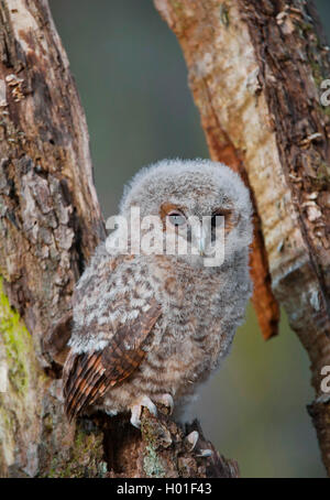 Waldkauz, Wald-Kauz (Strix aluco), junger Waldkauz sitzt auf Totholz, Deutschland | Eurasian tawny owl (Strix aluco), - Stock Photo
