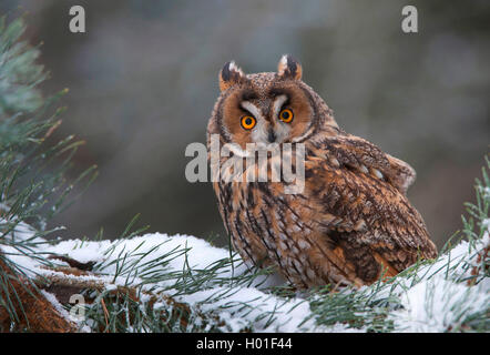 long-eared owl (Asio otus), sitting on a snow-capped conifer branch, Germany, Bavaria Stock Photo