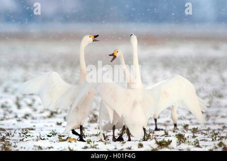 Singschwan, Sing-Schwan (Cygnus cygnus), drei Singschwaene bei Schneefall, Schweden | whooper swan (Cygnus cygnus), - Stock Photo