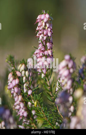 spring heath (Erica herbacea, Erica carnea), cultivar Winter Beauty, blooming, Germany - Stock Photo