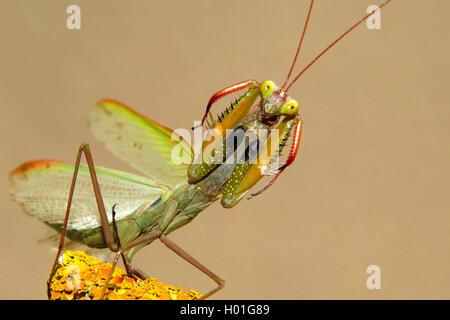 Europaeische Gottesanbeterin (Mantis religiosa), in Drohhaltung, Spanien | European preying mantis (Mantis religiosa), - Stock Photo