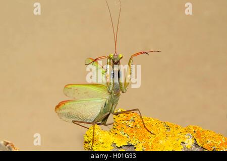 Europaeische Gottesanbeterin (Mantis religiosa), auf einem flechtenbewachsenen Stueck Holz, in Drohhaltung, Spanien - Stock Photo
