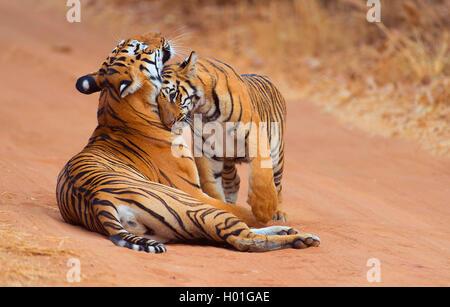 Koenigstiger, Indischer Tiger, Bengaltiger (Panthera tigris tigris), Weibchen mit Jungtier, Indien, Tadoba Nationalpark - Stock Photo