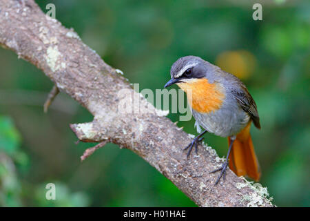 Cape robin chat (Cossypha caffra), sits on a branch, South Africa, Western Cape, Bontebok National Park - Stock Photo