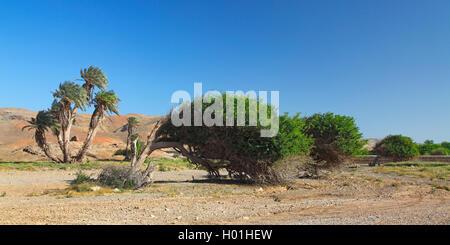 wind bented trees in semi-desert of Campo da Serra, Cap Verde Islands, Boavista - Stock Photo