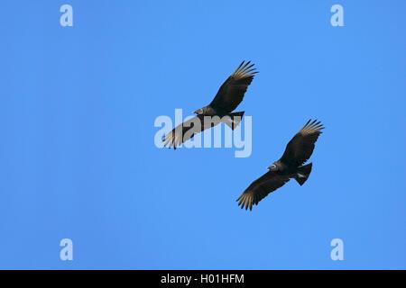 Rabengeier, Raben-Geier (Coragyps atratus), fliegendes Paar, USA, Florida, Myakka Nationalpark | American black - Stock Photo