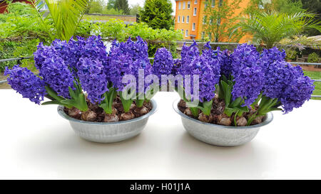 Jacinthe (Hyacinthus orientalis), jacinthes in flower bowls on a desk on a terrace, Germany - Stock Photo