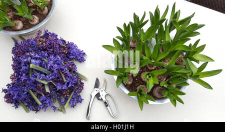 Jacinthe (Hyacinthus orientalis), jacinthes in flower bowls were cut after blooming, Germany - Stock Photo