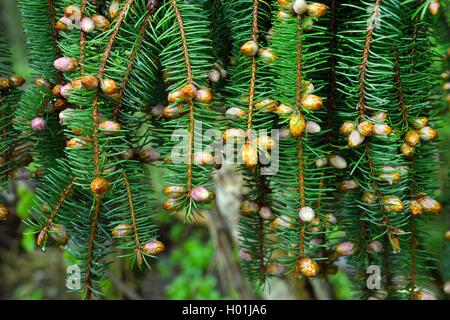 Gemeine Fichte, Gewoehnliche Fichte (Picea abies), Fichtenzweig mit Knospen und weiblichen Blueten, Deutschland, - Stock Photo