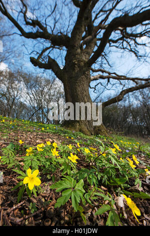 yellow anemone, yellow wood anemone, buttercup anemone (Anemone ranunculoides), blooming, oak in the background, - Stock Photo