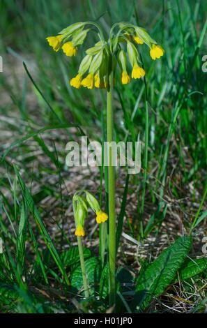 Cowslip, Common cowslip Cowslip primrose (Primula veris, Primula officinalis), blooming, Germany, Bavaria, Oberbayern, - Stock Photo