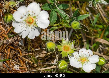 White Cinquefoil (Potentilla alba), blooming, Germany, Bavaria, Oberbayern, Upper Bavaria - Stock Photo