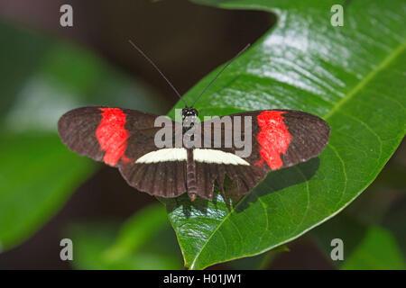 Kleiner Postbote (Heliconius erato), sitzt auf einem Blatt, Aufsicht | Red postman, Small postman, Red passion flower - Stock Photo