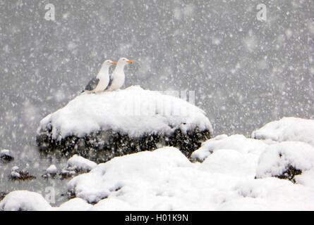 herring gull (Larus argentatus), pair of Herring Gulls in snow, Norway, Troms - Stock Photo