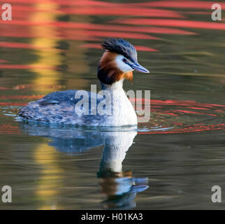 great crested grebe (Podiceps cristatus), swimming, Germany - Stock Photo