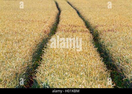 Saat-Weizen, Saatweizen, Weich-Weizen, Weichweizen, Weizen (Triticum aestivum), Traktorspuren in einem unkrautfreien - Stock Photo