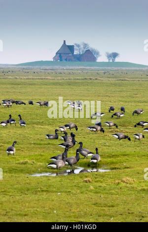brent goose (Branta bernicla), brent geese on Hallig Hooge, Germany, Schleswig-Holstein, Hallig Hooge - Stock Photo