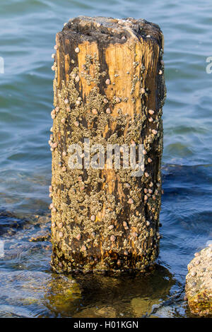 common periwinkle, common winkle, edible winkle (Littorina littorea), periwinkles and barnacles at a wooden pillar - Stock Photo