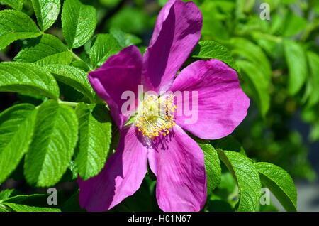 closeup of a pink wild rose blossom - Stock Photo