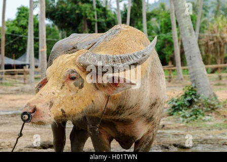 Close-up of one water buffalo or domestic Asian water buffalo in a farm and covered of mud in Thailand - Stock Photo