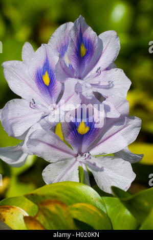 waterhyacinth, common water-hyacinth (Eichhornia crassipes), inflorescence - Stock Photo