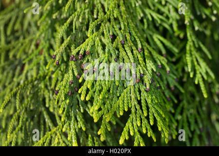 Japanischer Lebensbaum, Japan-Lebensbaum, Japanlebensbaum (Thuja standishii), Zweig mit maennlichen Blueten | Japanese - Stock Photo