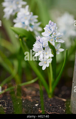 Puschkinia (Puschkinia scilloides), blooming - Stock Photo