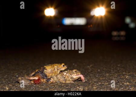 Erdkroete, Erd-Kroete (Bufo bufo), ueberfahrenes Paar auf einer Strasse, Deutschland | European common toad (Bufo - Stock Photo
