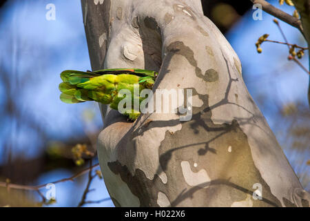 yellow-headed amazon (Amazona oratrix), sitting at its nesthole in a platane, Germany, Baden-Wuerttemberg, Stuttgart, - Stock Photo