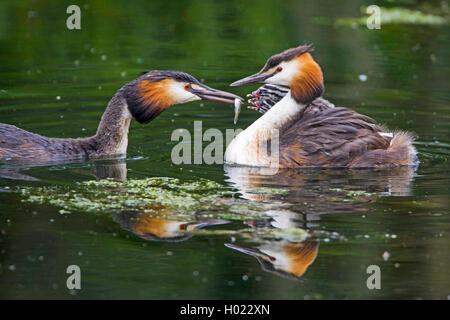 great crested grebe (Podiceps cristatus), feeding of the chicks, Germany - Stock Photo