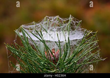 Baldachinspinne, Baldachin-Spinne, Frontinellina frutetorum (Frontinellina frutetorum, Frontinella frutetorum, Linyphia - Stock Photo