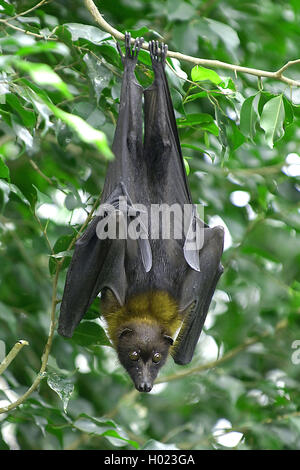 Indian flying fox (Pteropus giganteus), hangs down a branch, Thailand - Stock Photo
