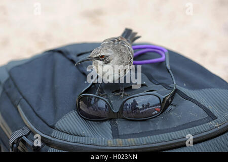 Hood mockingbird, Espanola mockingbird (Nesomimus parvulus macdonaldi, Nesomimus macdonaldi), is interested in sunglasses on a photo backpack, Ecuador, Galapagos Islands, Espanola