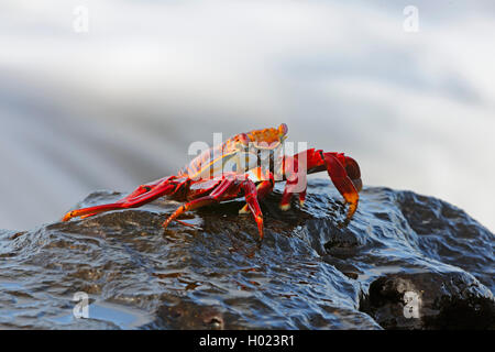 Sally lightfoot crab, Mottled shore crab (Grapsus grapsus), on a stone at the sea, Ecuador, Galapagos Islands, Espanola - Stock Photo