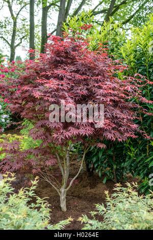 Roter Faecher-Ahorn, Roter Faecherahorn (Acer palmatum 'Bloodgood', Acer palmatum Bloodgood), Sorte Bloodgood | - Stock Photo