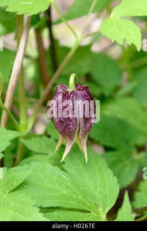 Klematis, Waldrebe, Clematis chiisanensis (Clematis chiisanensis), Knospe | clematis, virgins-bower (Clematis chiisanensis), - Stock Photo