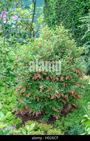 Redvein Enkianthus (Enkianthus campanulatus 'Red Bells', Enkianthus campanulatus Red Bells), cultivar Red Bells - Stock Photo