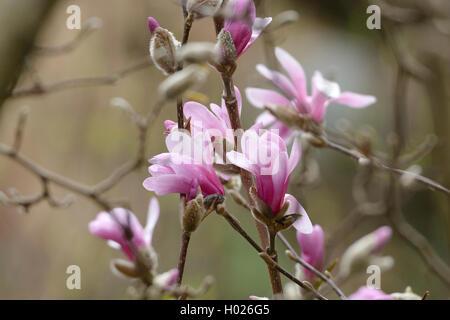 Loebner's Magnolie, Loebners Magnolie, Leonard Messel (Magnolia x loebneri 'Leonard Messel', Magnolia x loebneri - Stock Photo