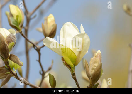 Yulan-Magnolie, Yulanmagnolie, Yellow River (Magnolia denudata 'Yellow River', Magnolia denudata Yellow River), - Stock Photo