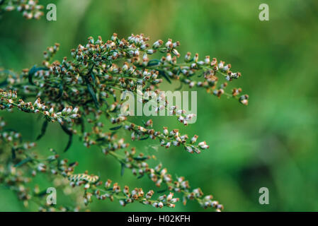 Ragweed or ambrosia plant, its pollen is notorious for causing allergic reactions in humans, selective focus - Stock Photo