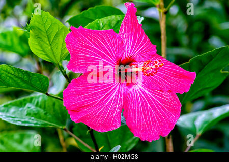 Pink Hibiscus flower located in Northwest Florida, USA - Stock Photo