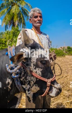 HAMPI, INDIA - 28 JANUARY 2015: Indian farmer on field with ox - Stock Photo