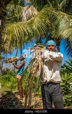 HAMPI, INDIA - 28 JANUARY 2015: Indian worker loading sugarcane on truck - Stock Photo