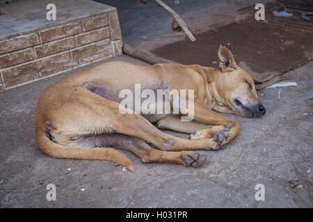 MUMBAI, INDIA - 16 JANUARY 2015: Female dog sleeps on ground of sidewalk. Stray dogs are numerous on India's streets. - Stock Photo