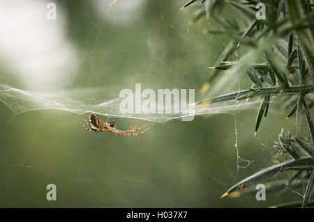A macro image of a male Common or European Garden Spider, I think. - Stock Photo