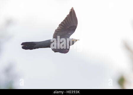 Common cuckoo (Cuculus canorus), adult in flight, Oulu, Northern Ostrobothnia, Finland - Stock Photo