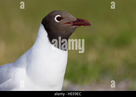 Black-headed Gull  (Chroicocephalus ridibundus), adult closeup, Oulu, Northern Ostrobothnia, Finland - Stock Photo