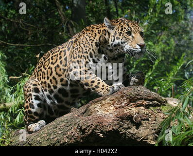 South American  Jaguar (Panthera onca) crouching down on a branch, ready to pounce - Stock Photo