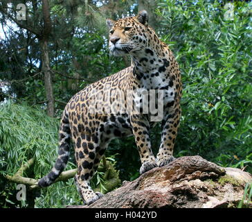 South American  Jaguar (Panthera onca) on the lookout high up on a branch - Stock Photo
